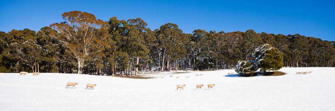 Snowy Graziers