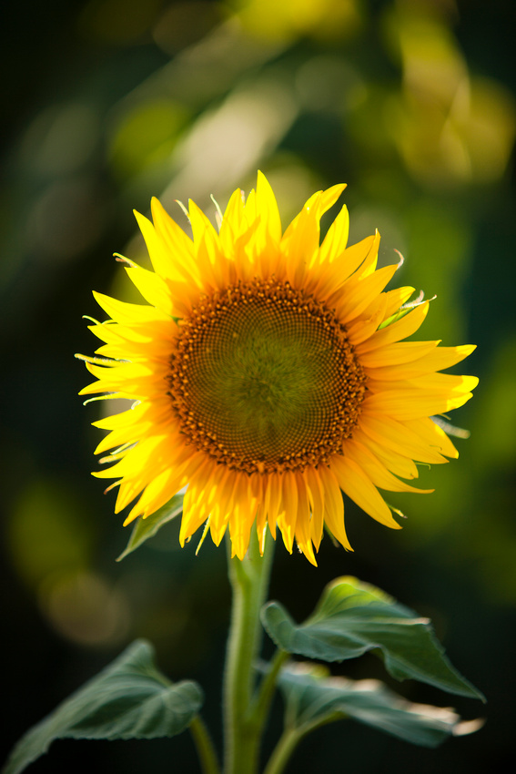 Sunflower mission