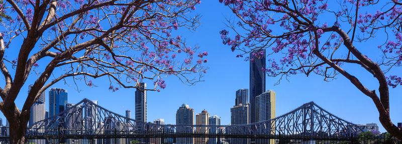 Brisbane Jacaranda